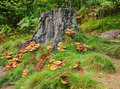 Autumn Fungi around a Tree Stump Royalty Free Stock Photos