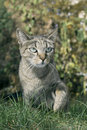Autumn in the garden is a gray cat on the grass green Royalty Free Stock Images