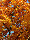Autumn gold maple Stock Photos