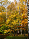 Autumn golden birch forest Royalty Free Stock Photography