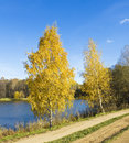 Autumn golden birches landscape two birch trees on bank of big lake recorded on swan lake in izmaylovskiy park in moscow Royalty Free Stock Photo