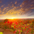 Autumn golden red vineyards sunset in utiel requena at spain Stock Images