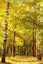 Autumn golden sunlight path in october mixed forest Royalty Free Stock Photo