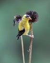 Autumn Goldfinch Royalty Free Stock Photo