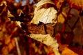 Autumn grapes Stock Photos