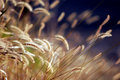 Autumn Grass at Sunset Royalty Free Stock Photo