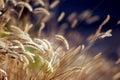 Autumn Grass at Sunset