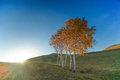 Autumn grassland, The fall of the white birch,sunset Royalty Free Stock Photo