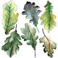 Autumn green oak leaf. Leaf plant botanical garden floral foliage. Isolated illustration element.