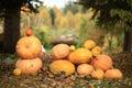 Autumn harvest of pumpkins halloween Royalty Free Stock Photo