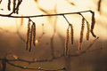 Autumn hazel aments catkins lamb s tails in Stock Photography