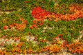 Autumn ivy at aarhus university denmark the shows red colors on the yellow stone brick walls campus Stock Photos
