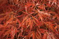 Autumn Japanese Maple leaves Royalty Free Stock Photo