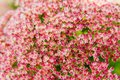 Autumn joy flowers Royalty Free Stock Photo