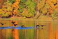 Autumn lake scene with ducks flying near water surface Royalty Free Stock Images