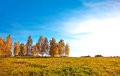 Autumn landscape with birch trees Stock Photography