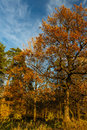 Autumn landscape with oak covered by jellow leaves Stock Photo