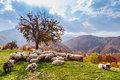 Autumn landscape sheep shepard dog tree in in the romanian carpathians Royalty Free Stock Image