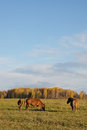 Autumn landscape with three horses on a meadow Stock Photos