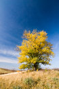 Autumn landscape with yellow colored aspen blue sky flowers in grass Royalty Free Stock Photography