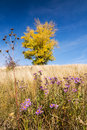 Autumn landscape with yellow colored aspen blue sky flowers in grass Royalty Free Stock Images