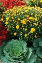 An autumn landscaping of Mums and cabbages Royalty Free Stock Photos