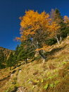 Autumn larch Royalty Free Stock Image