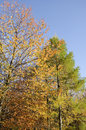 The autumn larch and wild cherry