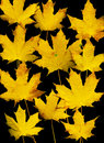Autumn leaf background. Black. Stock Images