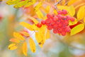 Autumn leaf background stock photos orange ashberry bokeh Royalty Free Stock Image