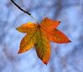 Autumn Leaf Backlit Royalty Free Stock Photo