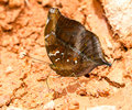 The autumn leaf butterfly puddling on ground in nature Stock Image