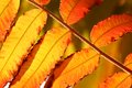 Autumn leaf close up of leaves rhus thypina Stock Image