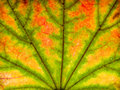 Autumn leaf closeup abstract with green Royalty Free Stock Photo