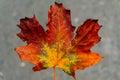 Autumn leaf closeup over grey background Stock Photo