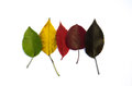 Autumn leaf color white background Stock Images