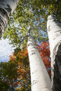Autumn leaf colors on silver birch tree from low angle Stock Photos