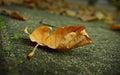 Autumn Leaf Fall