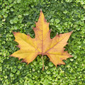 Autumn leaf on green clover Royalty Free Stock Photography