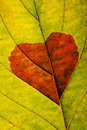 Autumn leaf with heart Stock Image