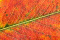 Autumn leaf macro closeup colorful Stock Image