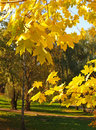 Autumn leaf of maple trees in park Royalty Free Stock Photo