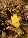Autumn leaf nature yellow colors Royalty Free Stock Photos