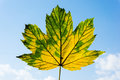 Autumn leaf over blue sky Royalty Free Stock Photos
