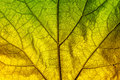 Autumn leaf texture green and yellow close up Stock Images