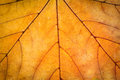 Autumn leaf texture orange maple Royalty Free Stock Image