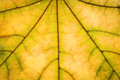 Autumn leaf texture yellow maple Royalty Free Stock Photography
