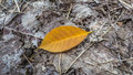 Autumn leaf an a yellow rubber on rotten grey leaves Royalty Free Stock Images