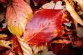 Autumn leafage Royalty Free Stock Photo