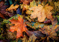 Autumn leafage nice autumn abstract background with maple Stock Images